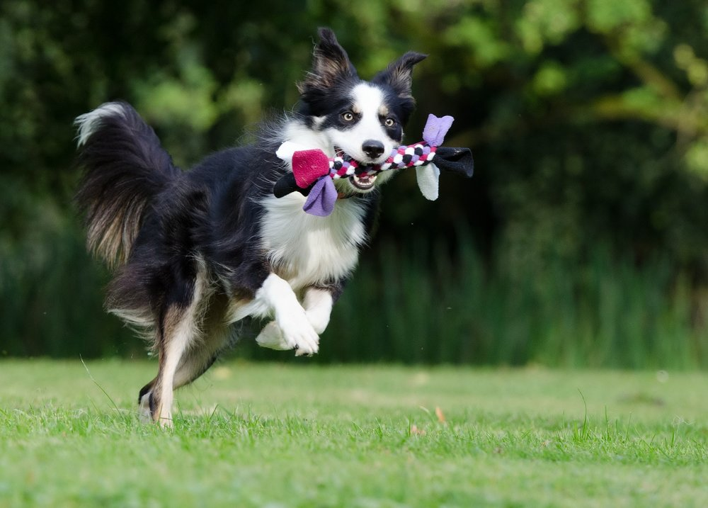 border-collie-672633_1920.jpg