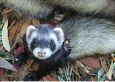 Image courtesy of   NSW Ferret Society.