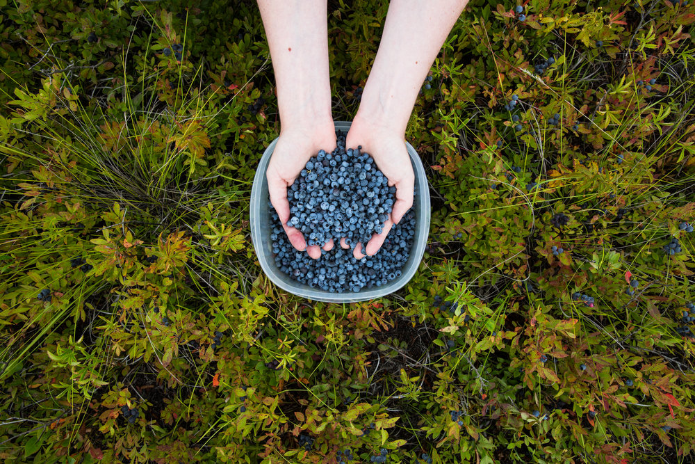 Wild blueberries, Maine