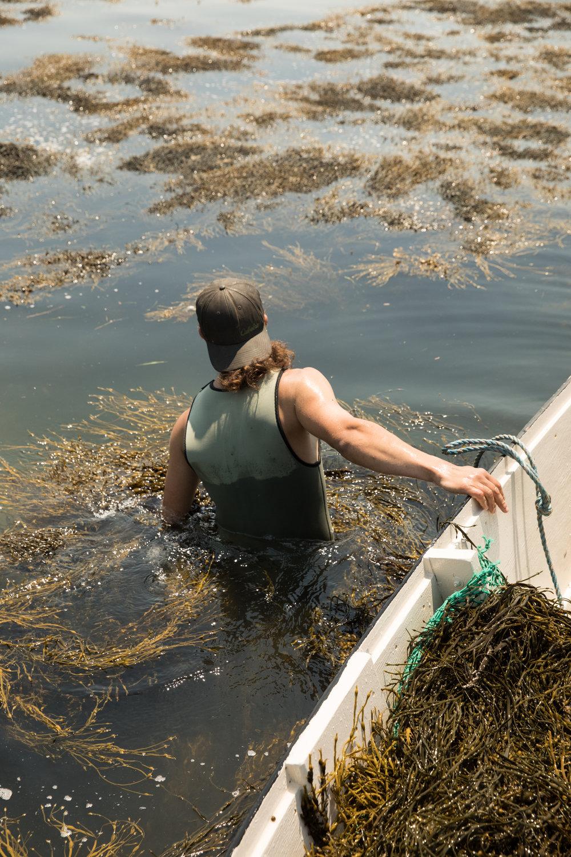 Seaweed Harvesting, Maine