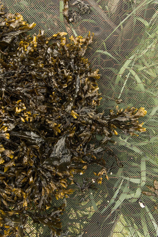 GRybus-Blog-Seaweed-1216-2.jpg