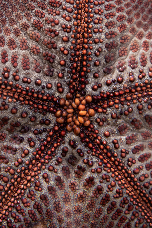 Starfish. Bwejuu, Zanzibar