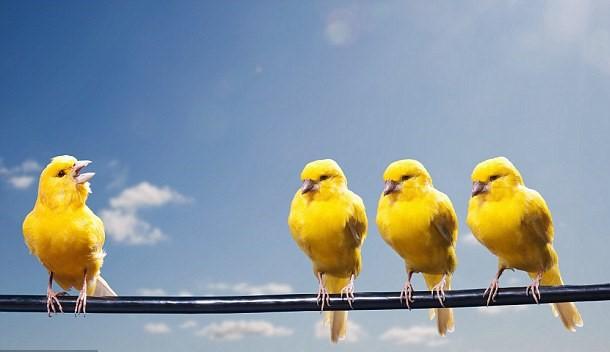 canaries_100917.jpg
