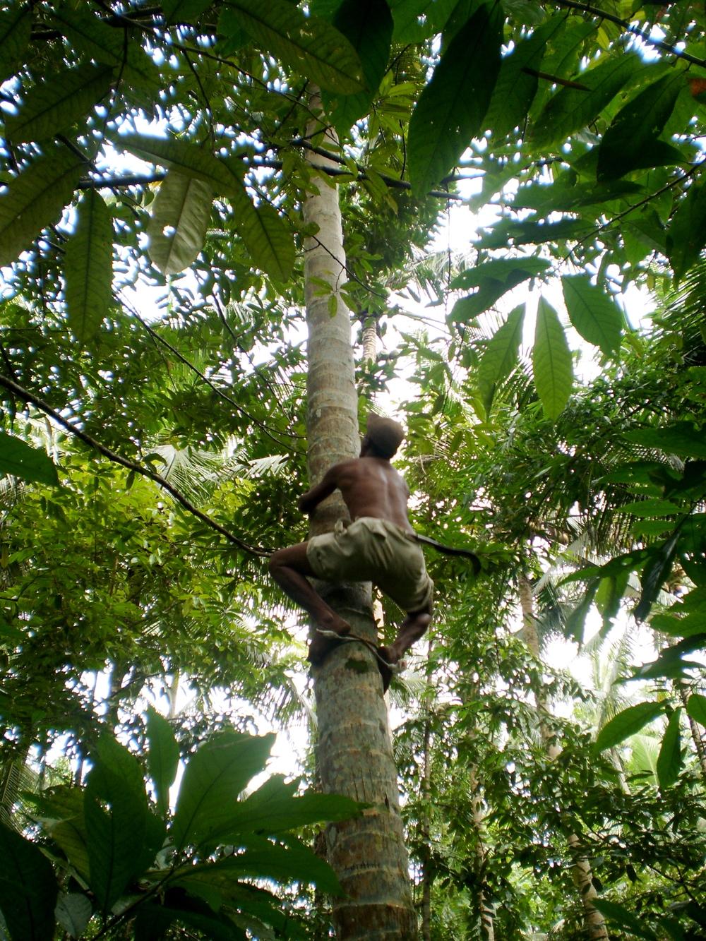 Made Sueca climbing a coconut tree