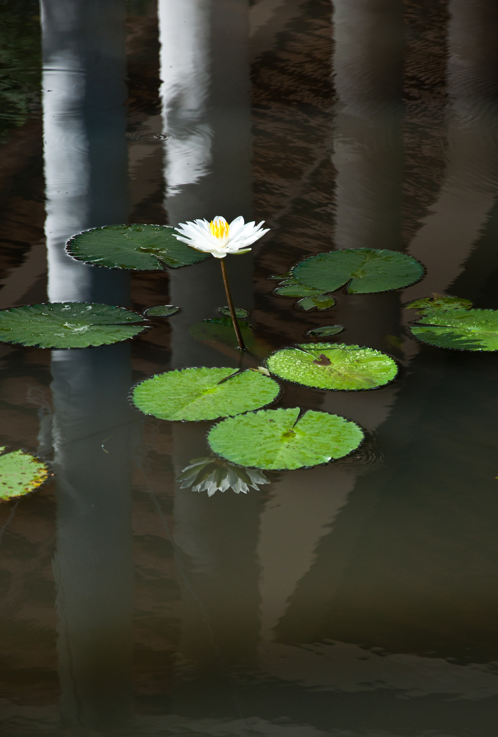 Balinese water lilly