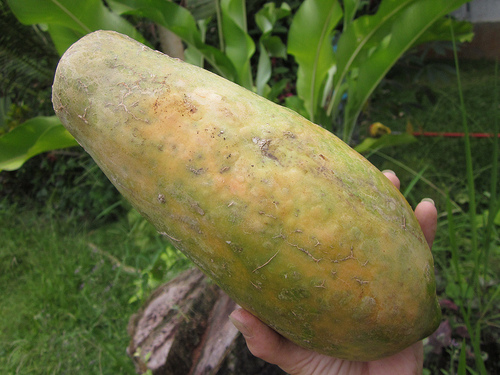 Homegrown, organic papaya