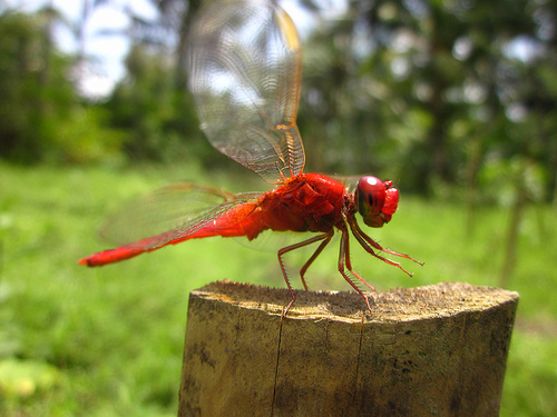 red dragonfly_2