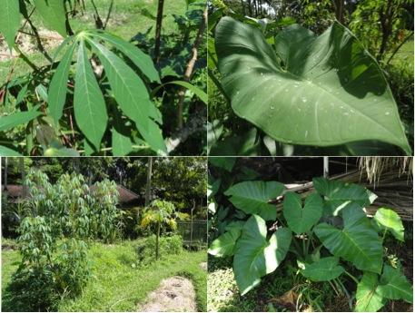 Singkong_Keladi_plants