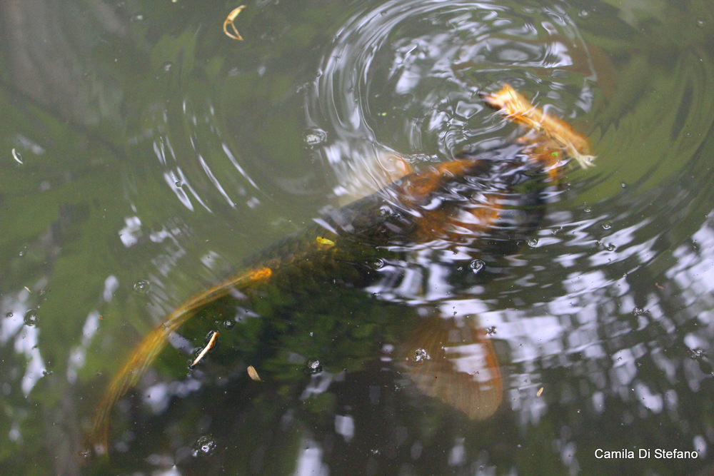 Fish in pond 2
