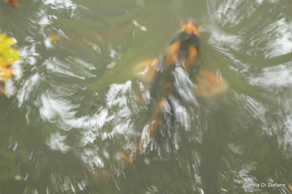 Fish in pond 3