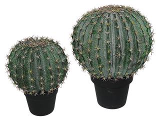 Goldenball cactus from £60