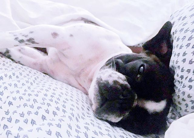 Hits the snooze button 4x... // @bonejourraphael // #monday #frenchbulldog #needmoresleep