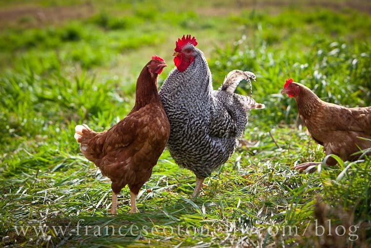 Cheating Chicks