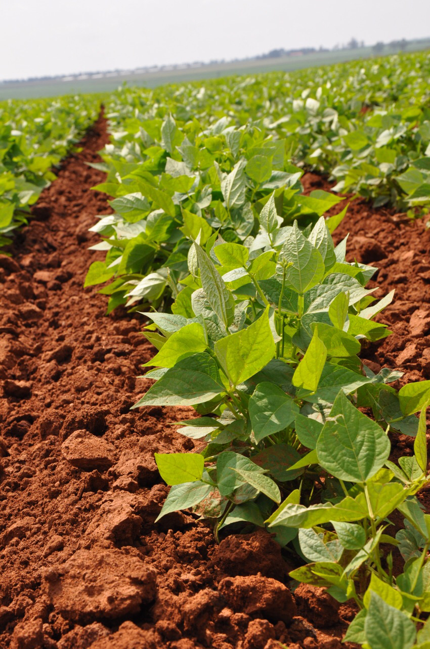 Navy beans grow in the field of Schoeman Boerdery (farms). Note the red clay loam soil.