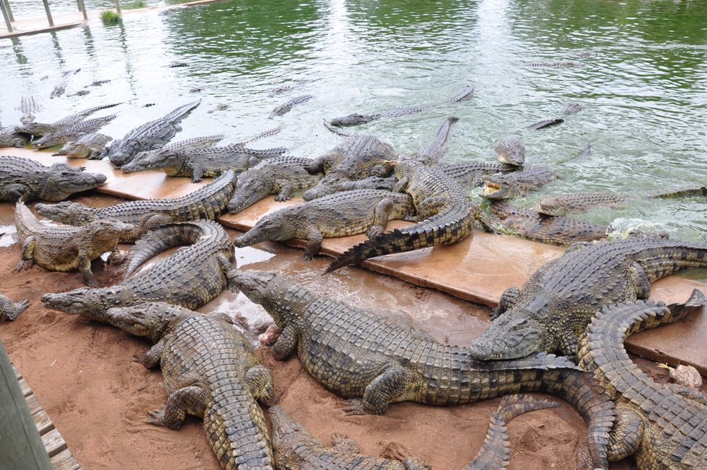 Dozens of hungry crocs during a feeding frenzy!