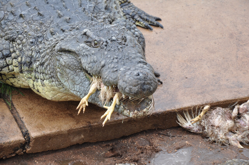 These Nile Crocodiles love chicken!