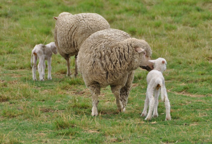 Ewe cleans newborn lamb.
