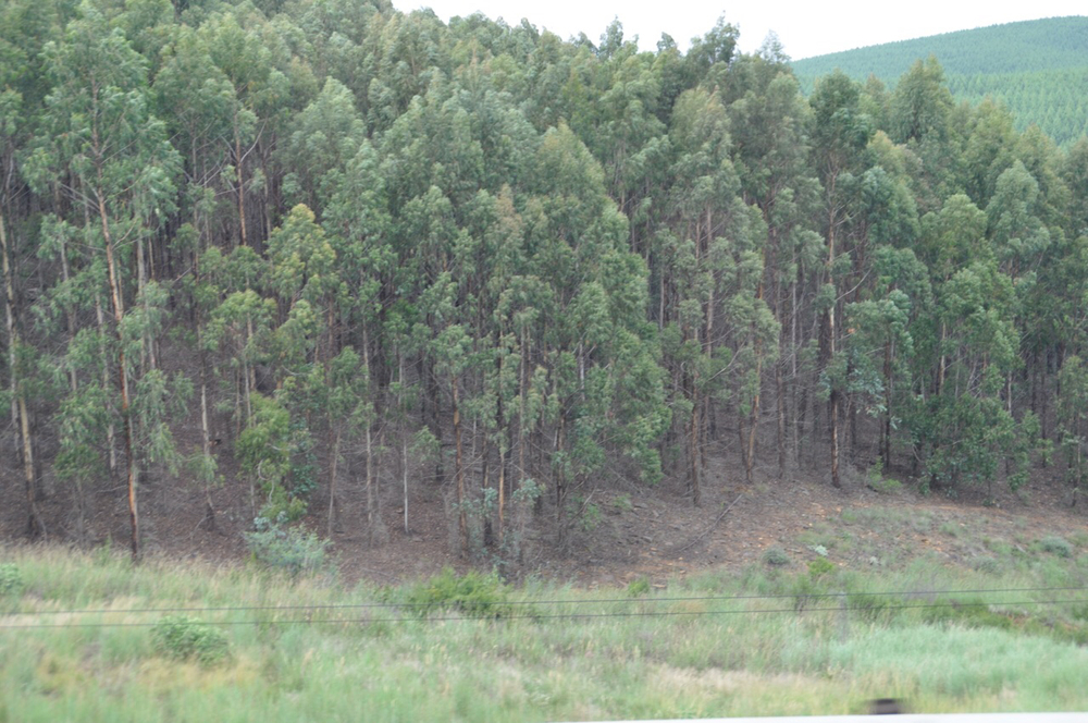 Permanent crops such as Eucalyptus plantation and other forestry abound in the Nelspruit area.