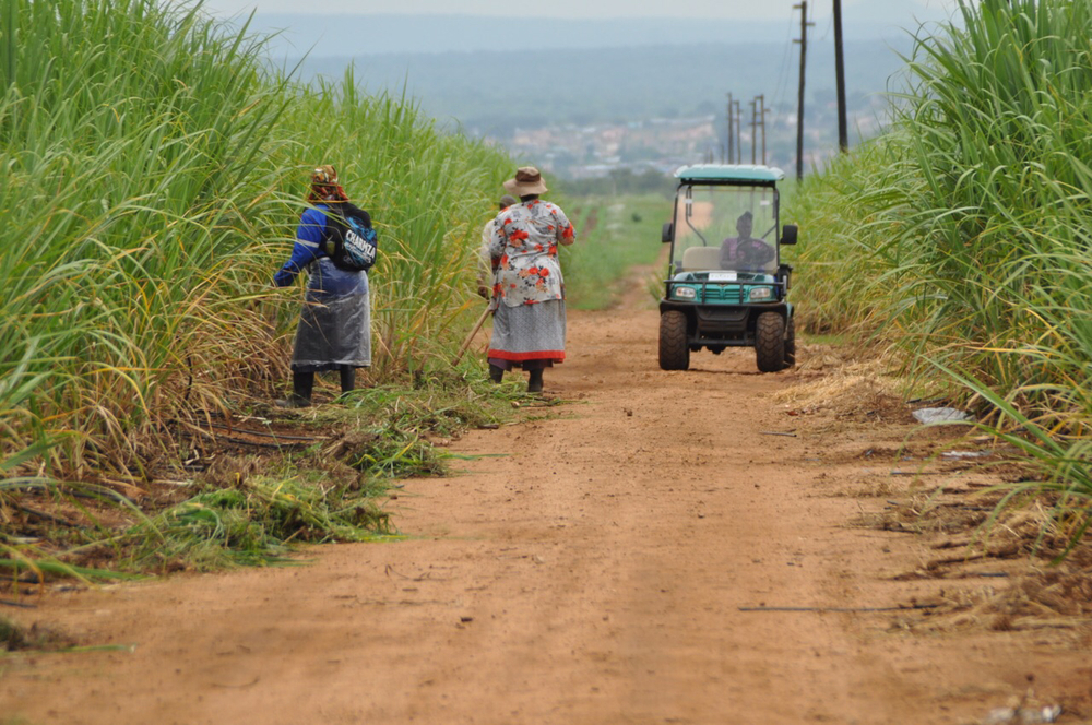 Contradictions of African sugarcane production: Workers use hand tools while, an electric golf cart motors by.