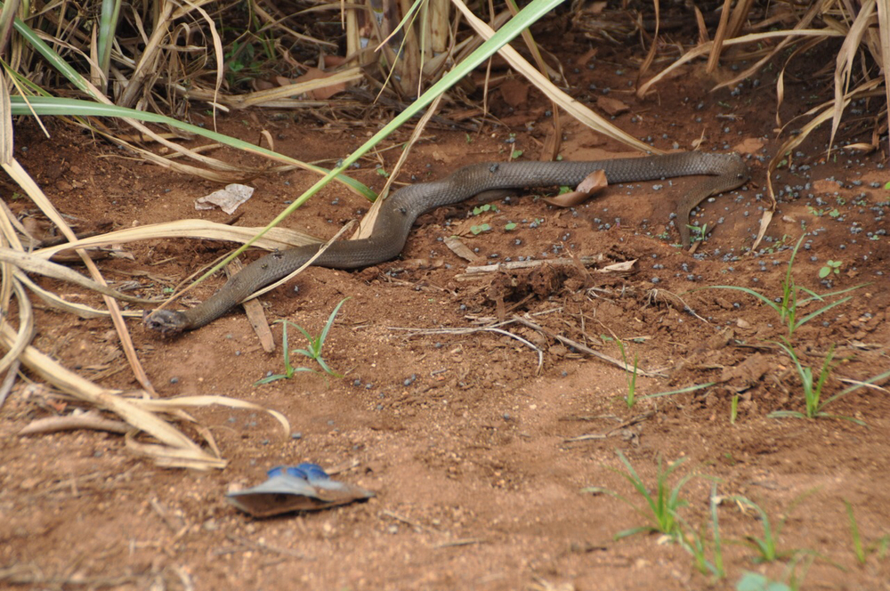 Dead black mamba–one of the most deadly snakes in the world; found mere inches from the headland.