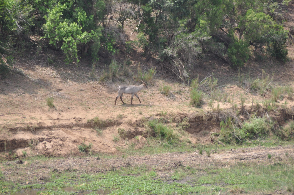 Water buck walks along the Crocodile River.