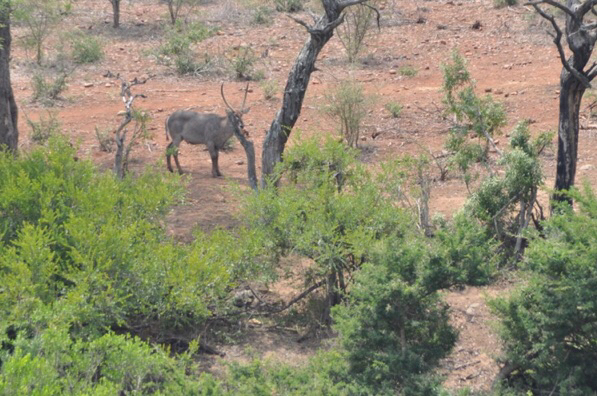 Water buck with horns in a thicket along the Crocodile River.
