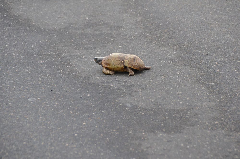 Turtle crosses the road at Kruger National Park