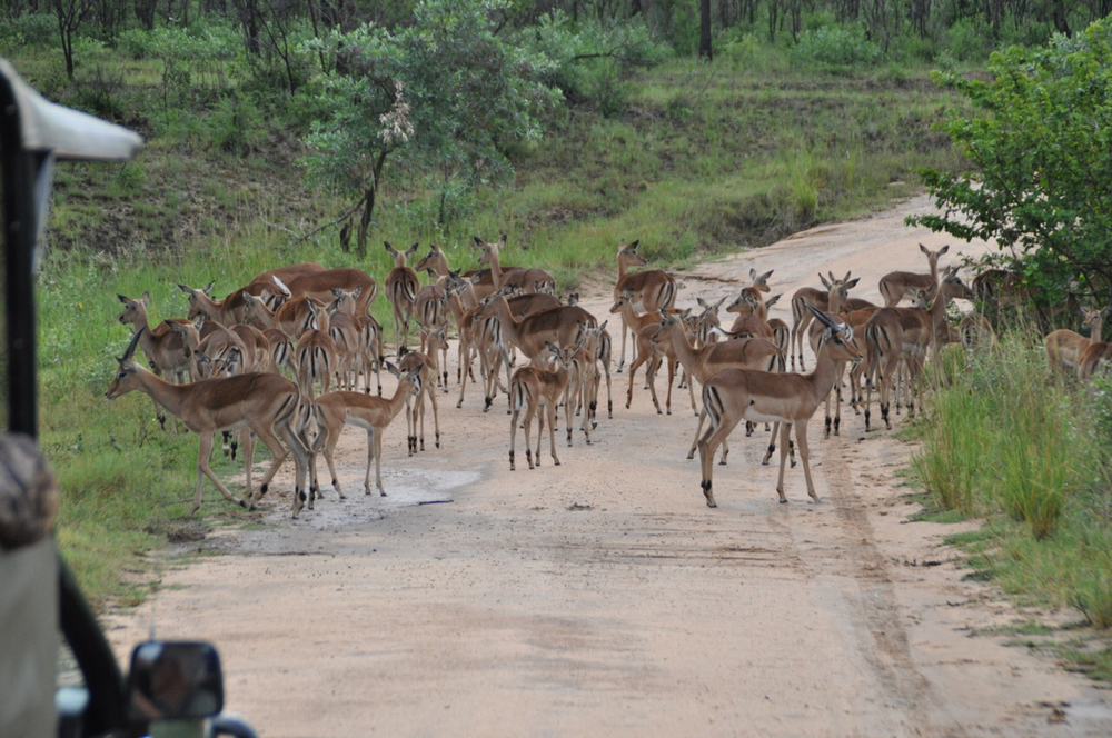 Impala find us at nearly every turn on our Safari at Kruger National Park.