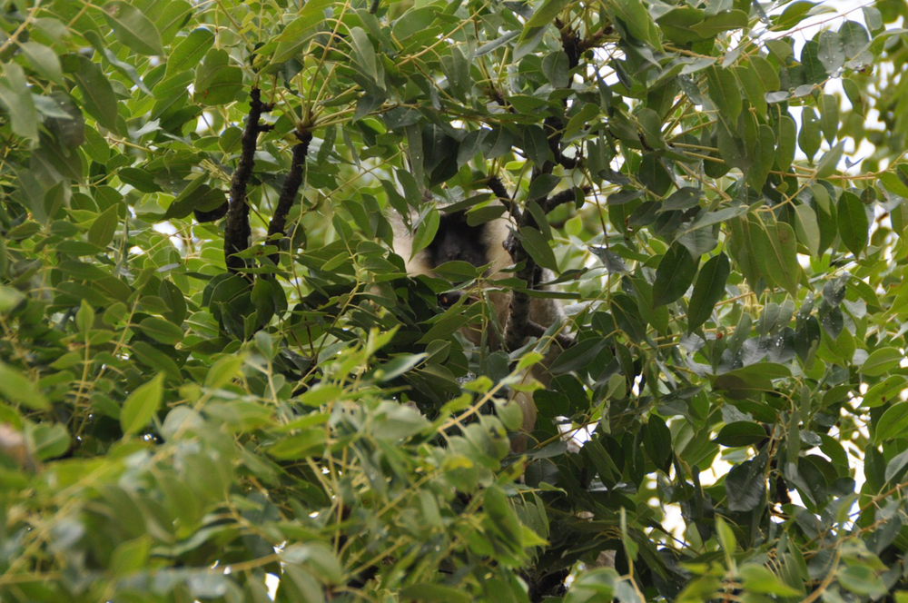 A monkey peeks through the leaves of a tree.