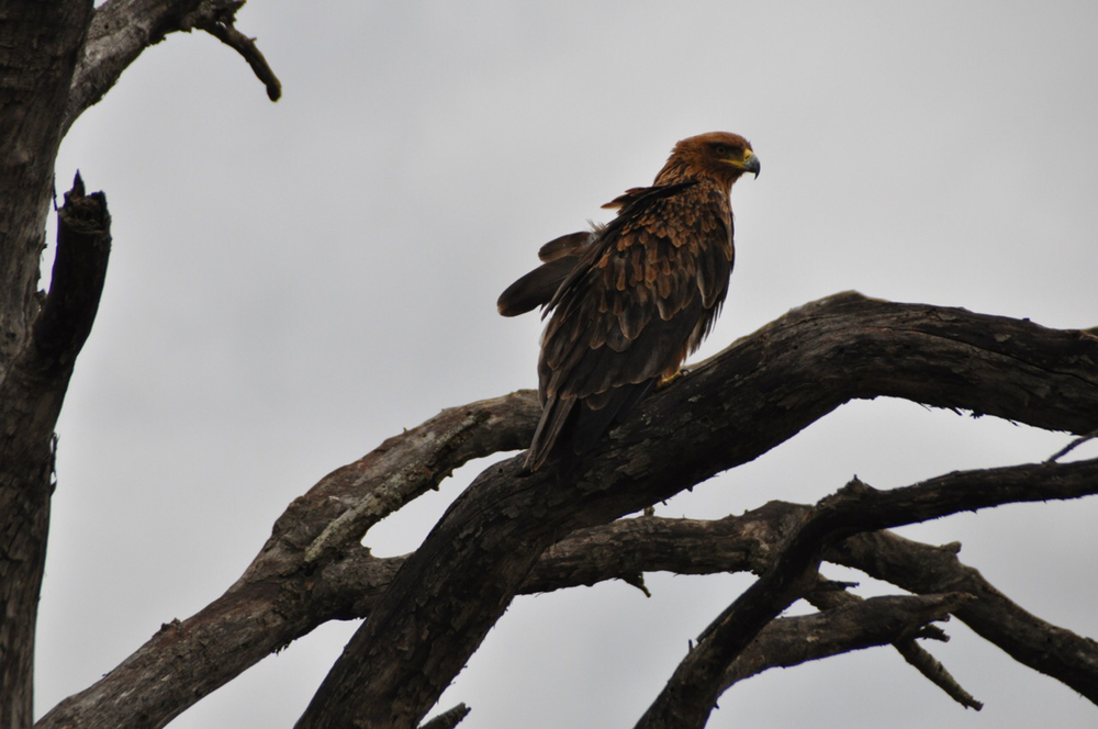 This eagle is one of dozens of birds who call Kruger National Park home.