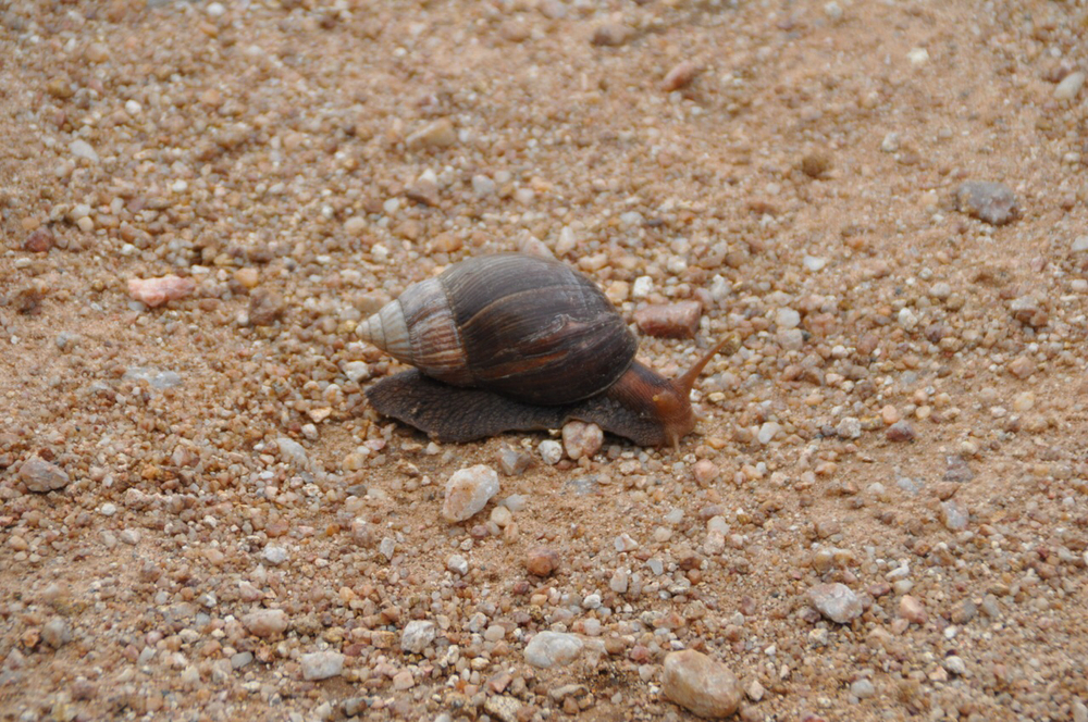 A snail makes a path on our road through Kruger National Park.