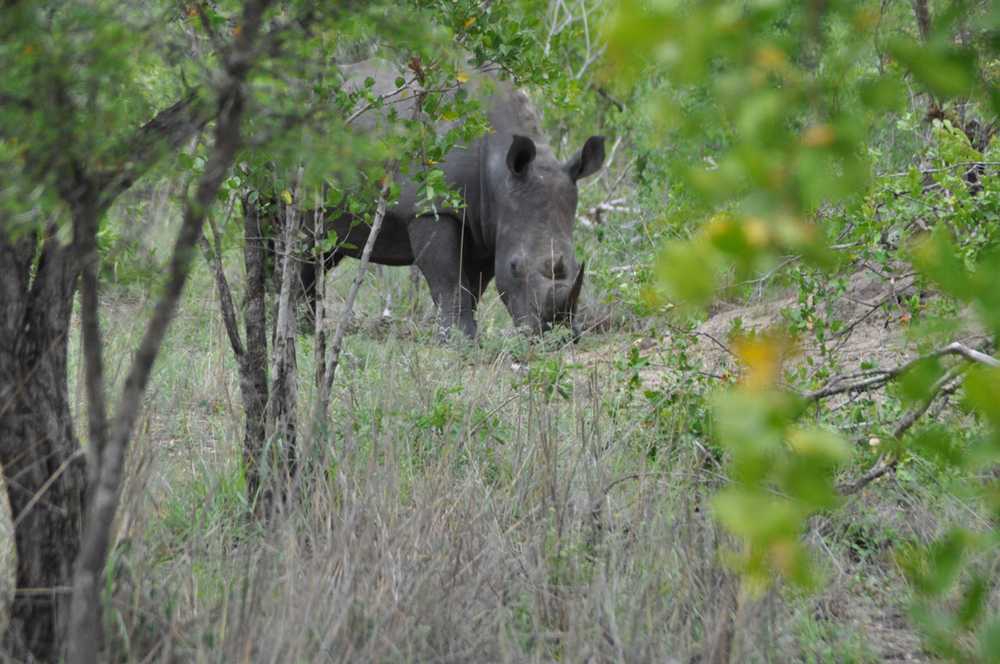 Our first rhino spotting on a cool morning in the park!