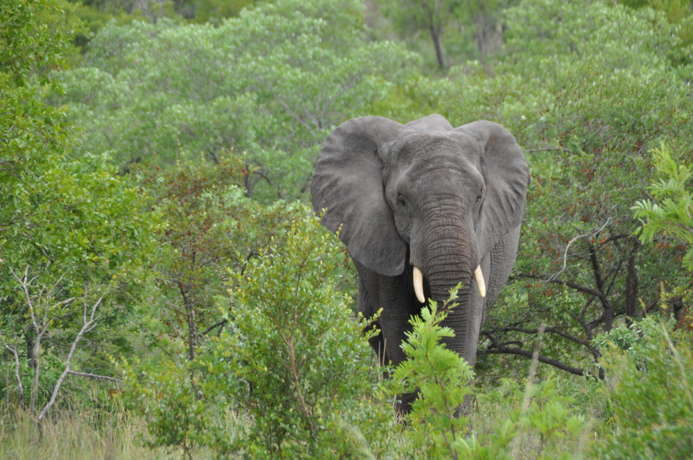 "Bingo! The mighty African Elephant spotted in the park. The elephant is the second of the ""Big Five"" in the park."