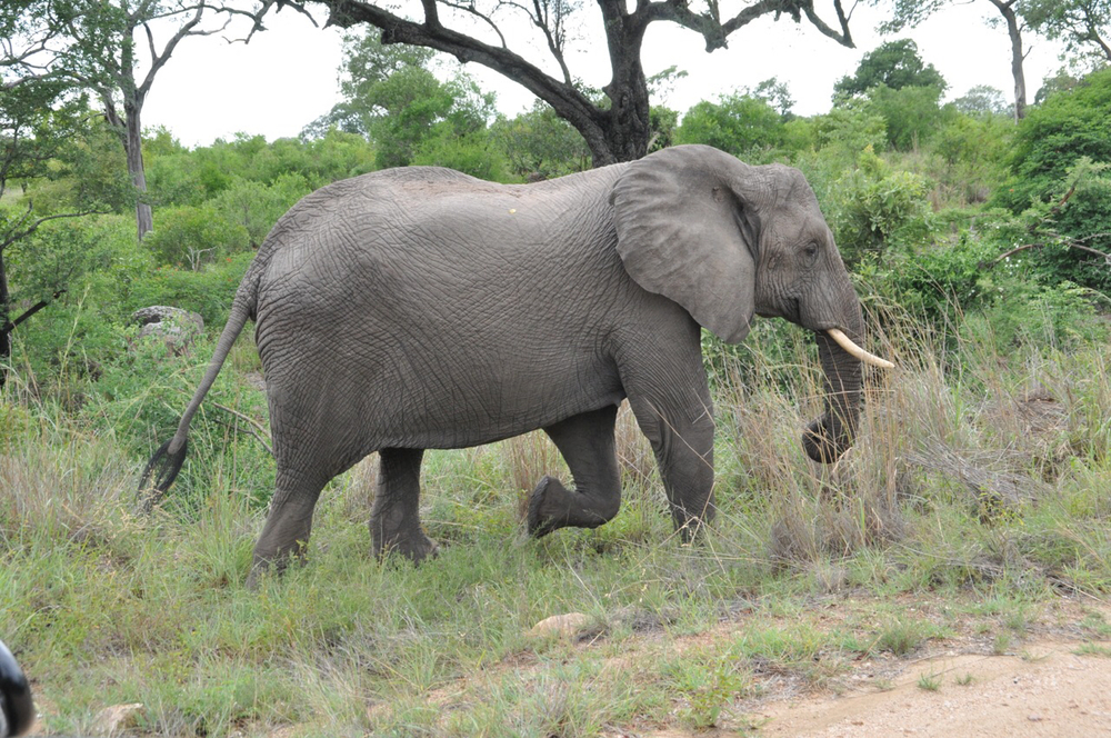 African Elephant on the move in the park!
