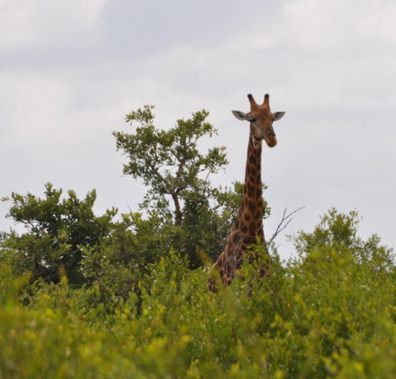 A curious giraffe peers over the bush to check out the human visitors at the park.