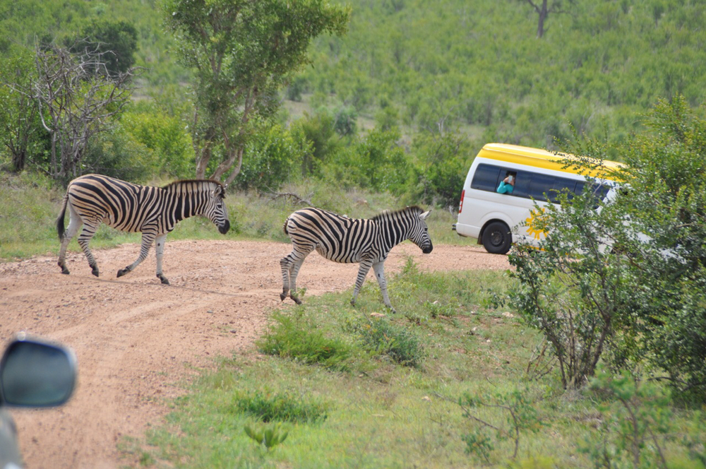 Why did these zebra cross the road? Avoiding traffic!