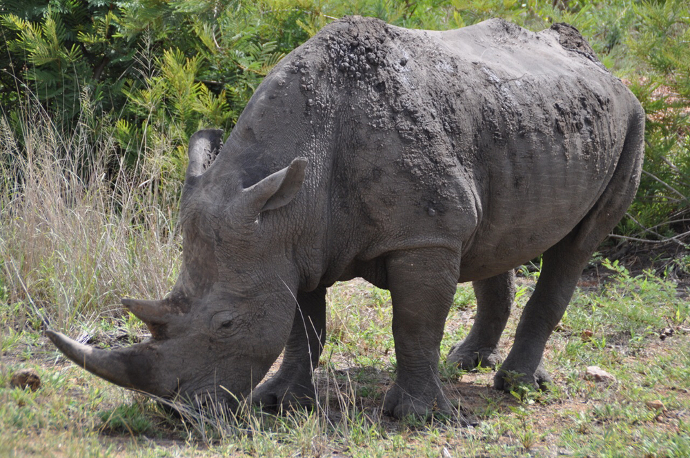 Up close to a powerful rhino – one of nearly five spotted during our visit.