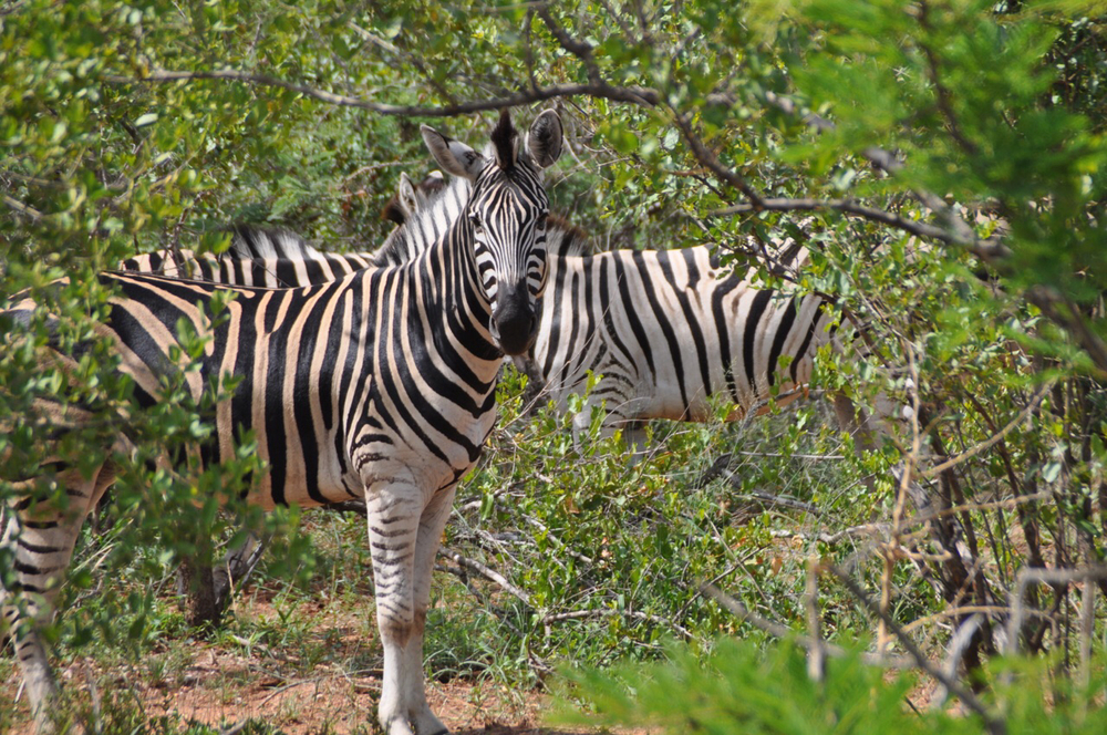 A magnificent shot of zebra grazing in the bush.