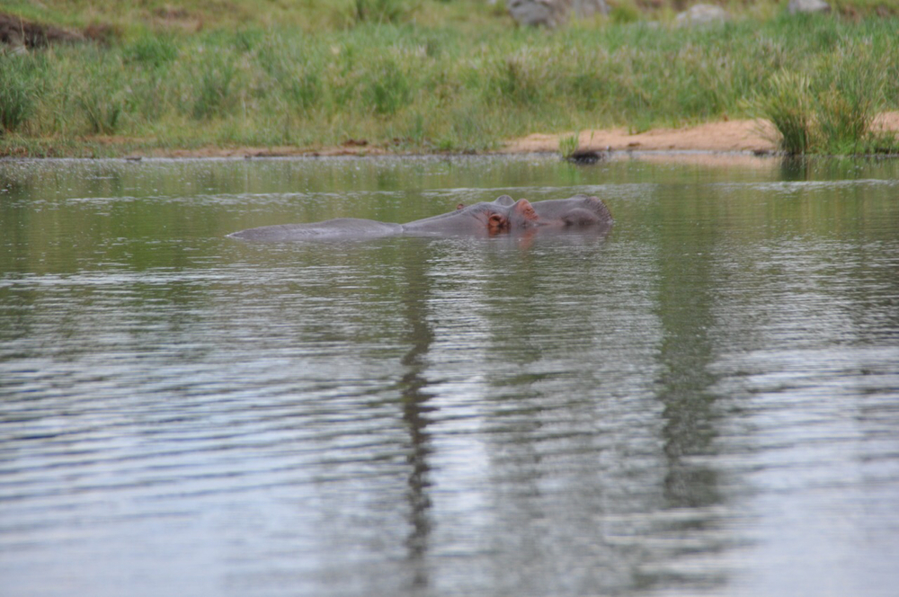 Hippo spotted in a watering hole along the road. Our first one of the day.