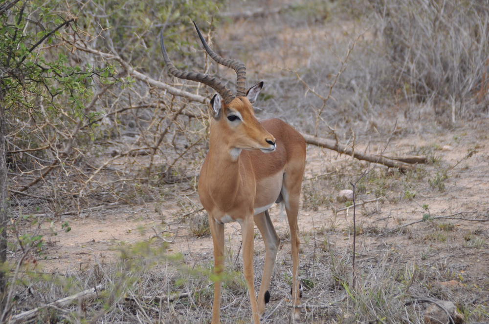 Buck impala spotted near the Shrimantanga Koppie.