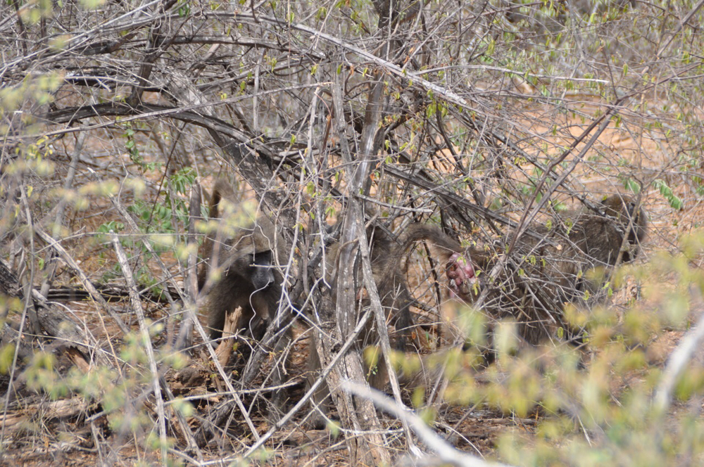 Baboons in the bush near the Skukuza Center.
