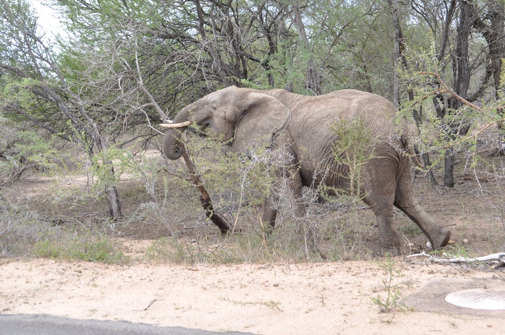Hungry elephant takes out a tree to get to more food near our truck.