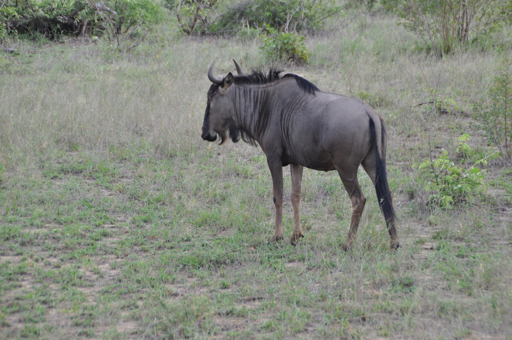 Wildebeest looks for grazing land along our trek through the park.