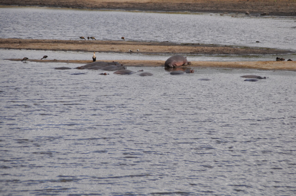 Hippos lounge in and along the water near the Skukuza Center.