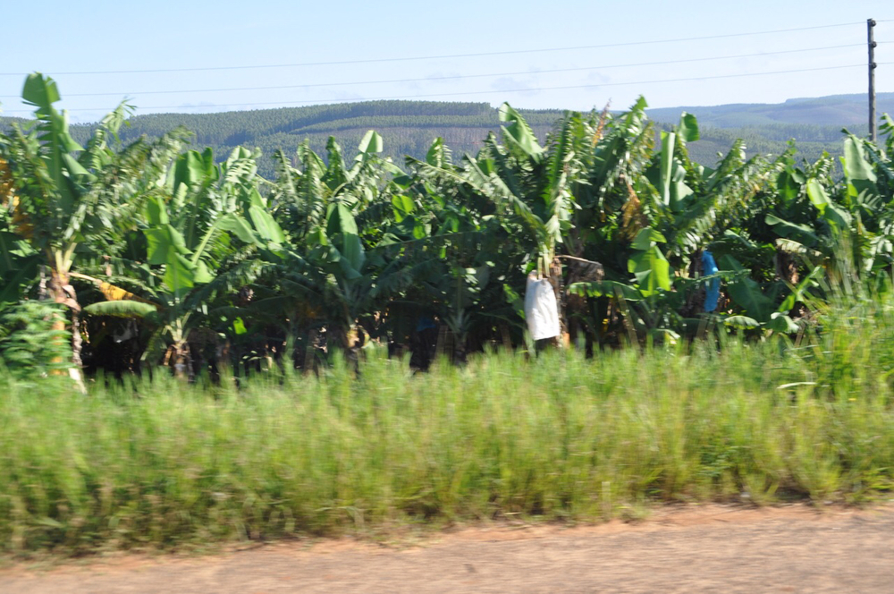 Bananas growing near Sabie, SA.