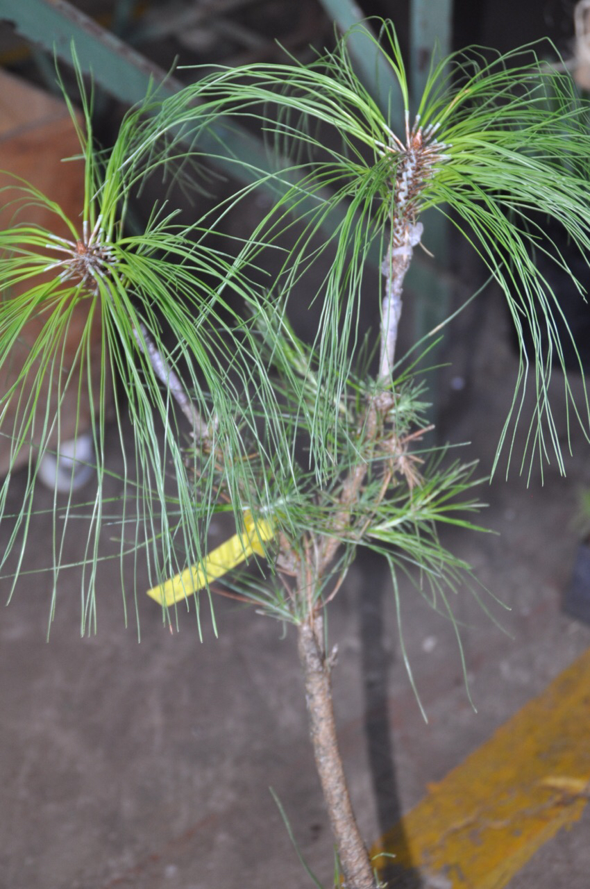 Pine seedling that has been grafted with improved plant stock.