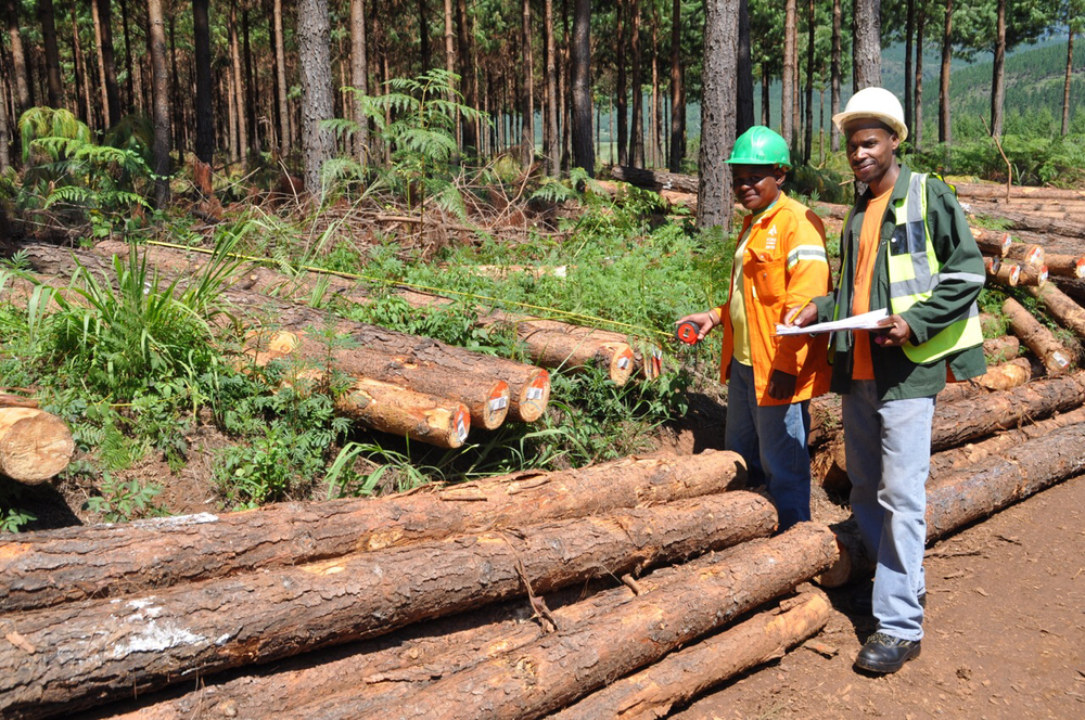 Two York Timbers inspectors look over freshly harvested logs to determine if they meet specifications.