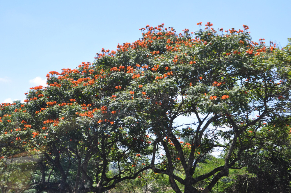African tulip tree found on the way from Sabie to the Nelspruit/Kruger International Airport.