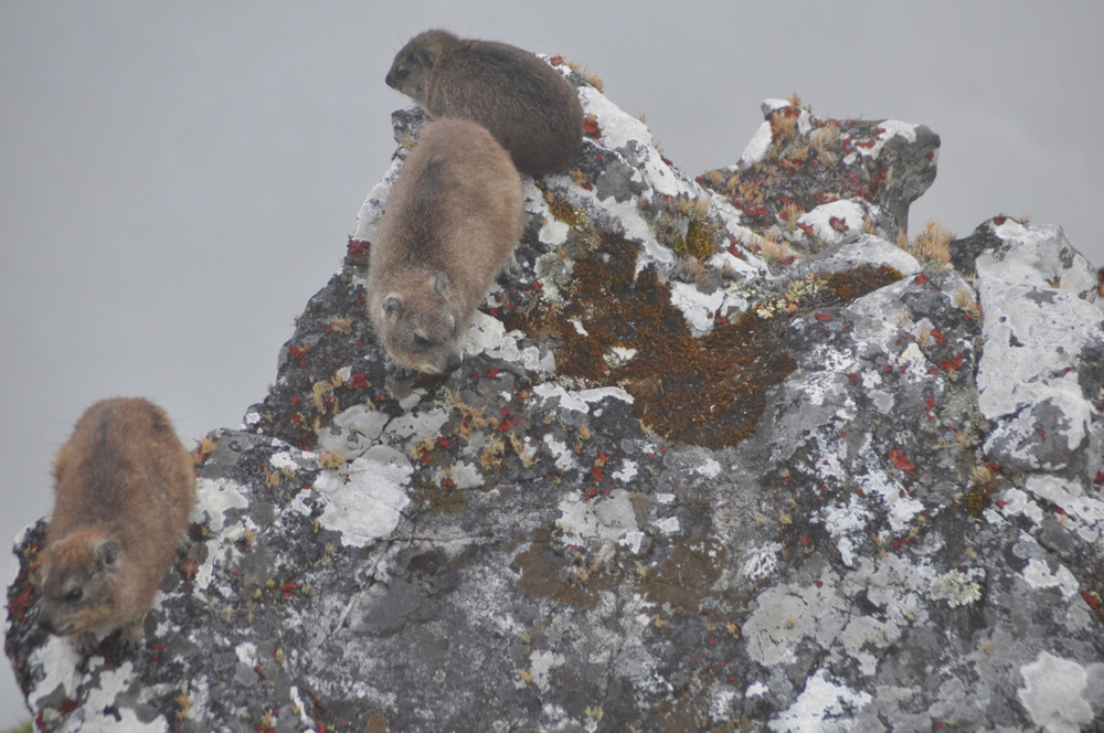 "The Rock Hyrax, known locally as ""dassies"", have special glands which allow their foot pads to become sticky which prevents them from falling off the mountain."