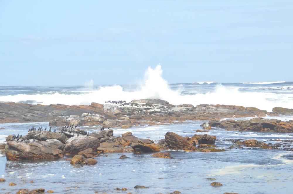 Huge waves of the Atlantic crash into seaweed covered rocks at the Cape of Good Hope.
